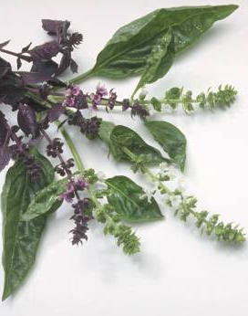 flowering stock and leaves of basil plant