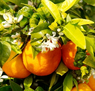 Orange tree with fruits and flower blossoms used to portray Sweet Orange Sachet by a hint of vanilla | photo: © Bereta | Dreamstime.com