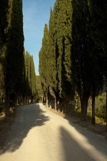 cypress trees along both sides of a gravel road