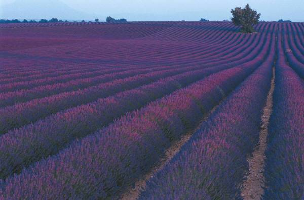 field of lavender plants in bloom