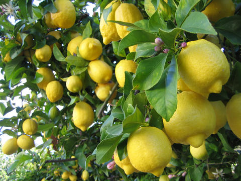 Lemon laden tree - used to portray Lemon Aromatherapy Air Freshener Sachets by a hint of vanilla | photo: © Monochrome | Dreamstime.com