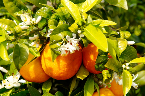 orange tree  |  © Mircea Bezergheanu | Dreamstime.com  |  480x318px (188.6 KB)